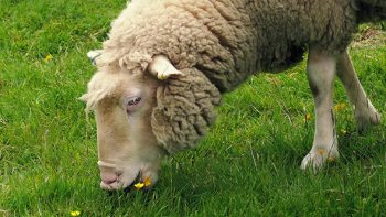 Sheep Follower Type, #millennialleadership, millennial leadership