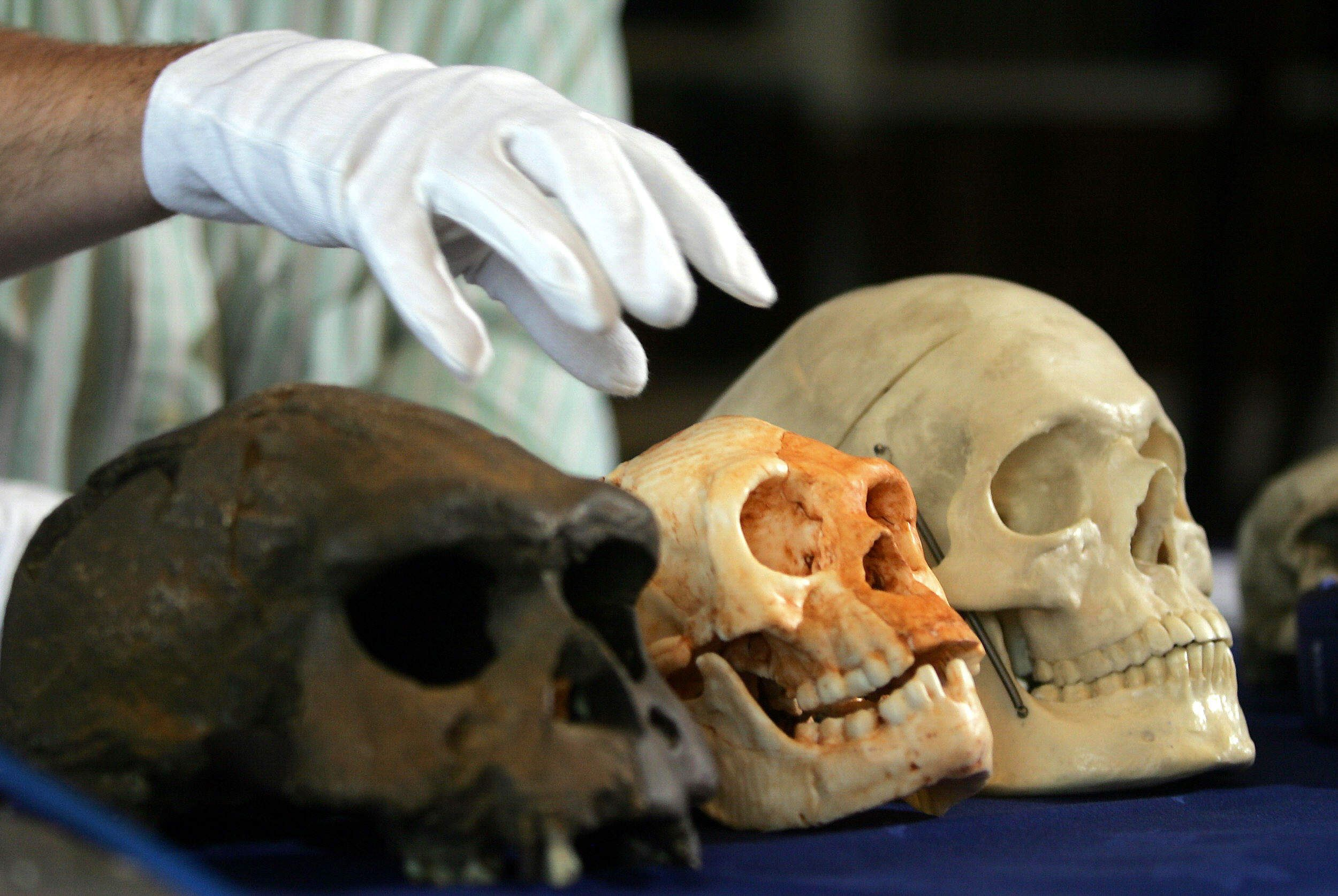 Professor Chris Stringer of the Natural History Museum holds his hand over a Flores Man skull
