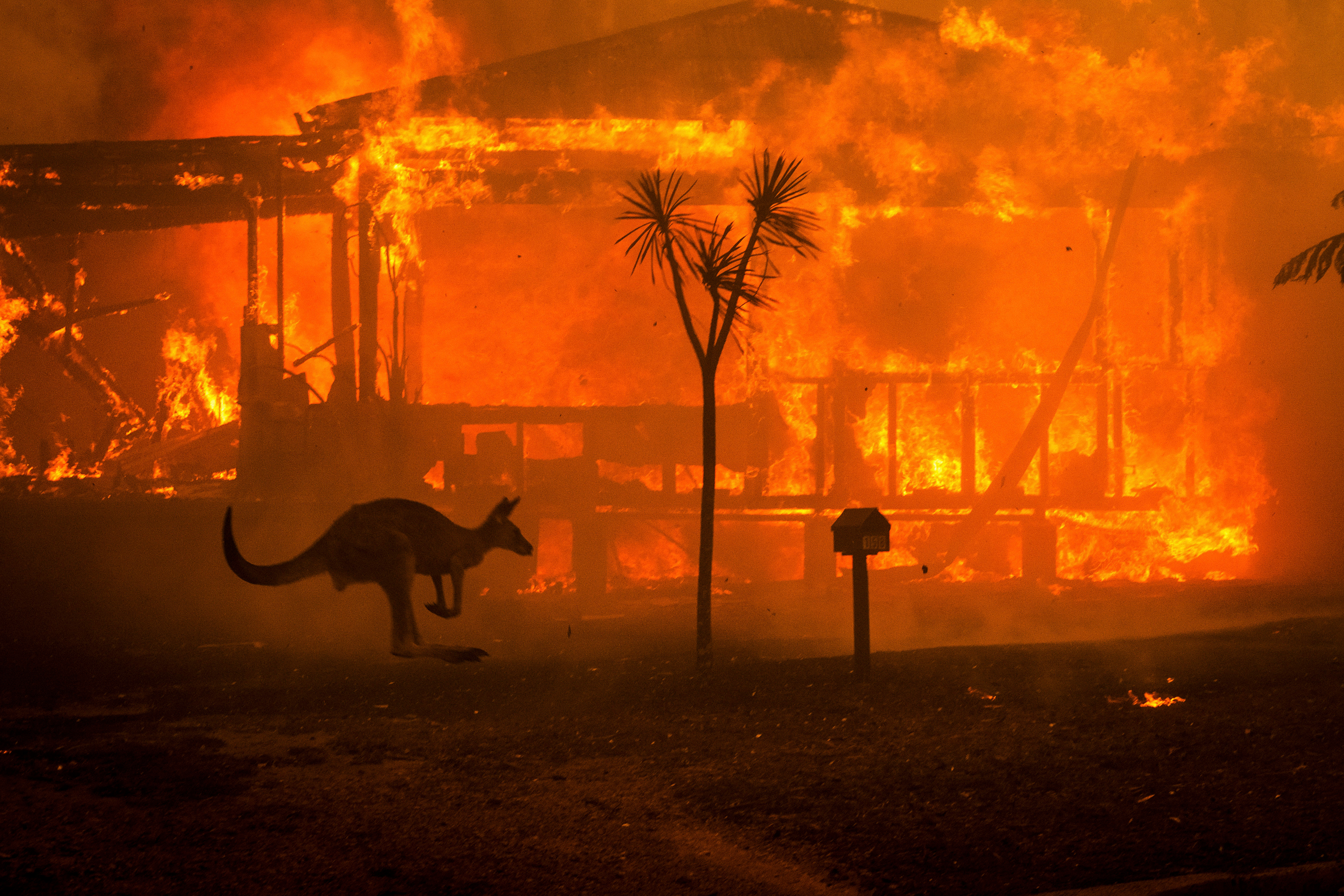 A kangaroo bounces past a burning house in Conjola, New South Wales, on New Year's Eve