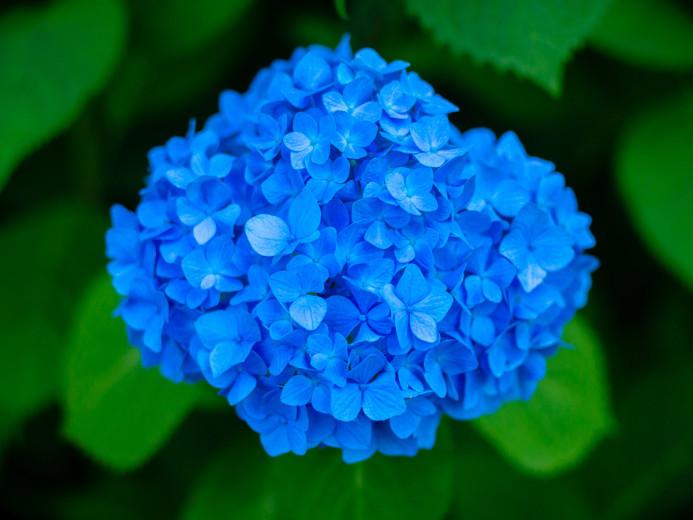 Electric Blue Hydrangeas