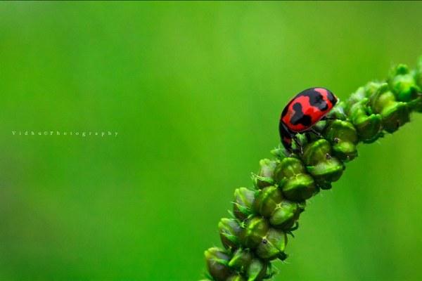 Red ladybug macro photography using reverse lens
