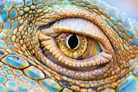 Close-up of iguana eye