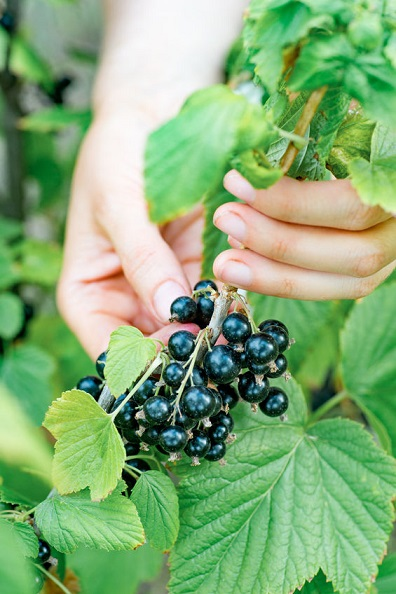Alert– Anti-Ageing Powers Discovered In Blackcurrant