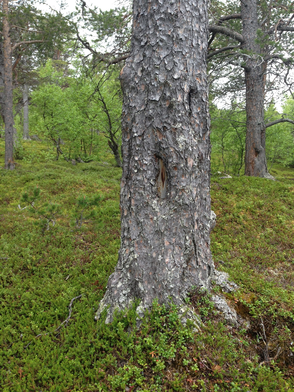 A pine tree with evidence of bark regrowth over an old 'window-pane', in northern Sweden.