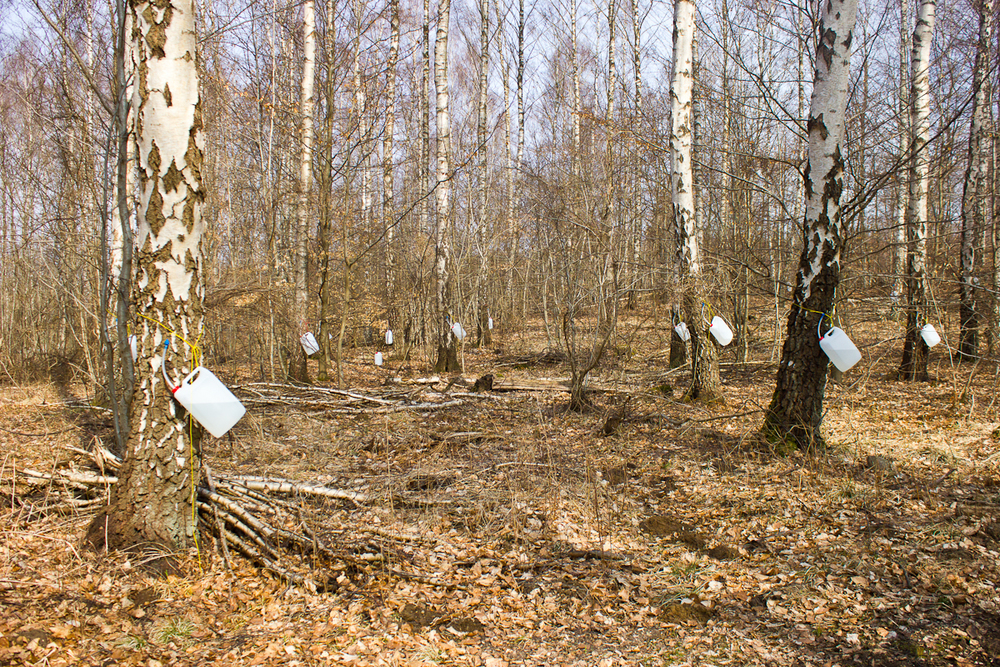 Birch trees tapped for syrup, in March.photo credit: Josh Pollen