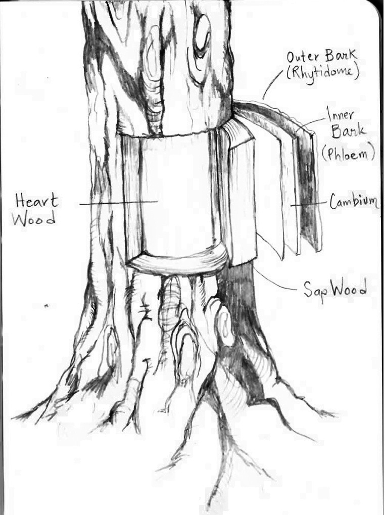Figure 1 - General tree anatomy and physiology.A tree's bark and wood consists of many distinct layers: the exterior bark comprised of dead, accumulated cells is called the rhytidome, while the entire outer bark layer is called the periderm; the inner bark is also called phloem and consists of vascular tubes to transport nutrients; the thin cambium below is made of living tissue that builds the phloem outward and provides a protective barrier against rot and disease; the sapwood is the newly formed wood containing living tissues and water; the heartwood is older, dryer and the core of the tree's structural stability. Drawing by Anna Sigrithur.