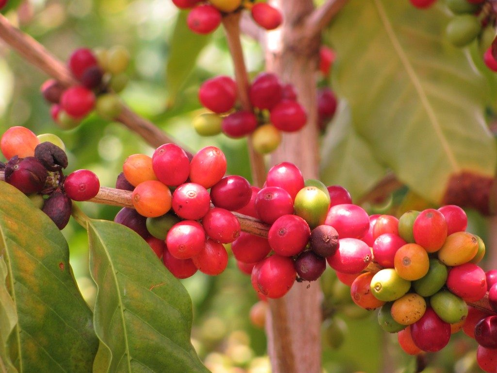 Kona coffee cherries at various stages of ripeness