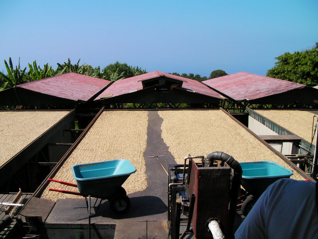 Kona coffee beans drying the natural way