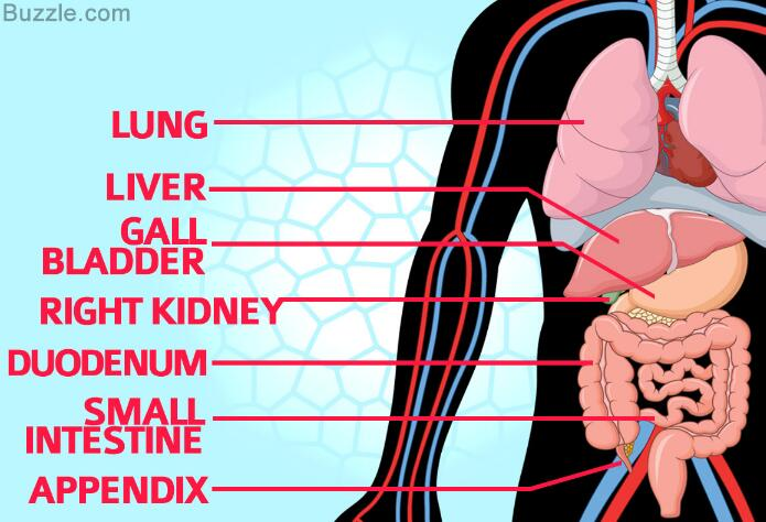 Organs in right Side of the Body