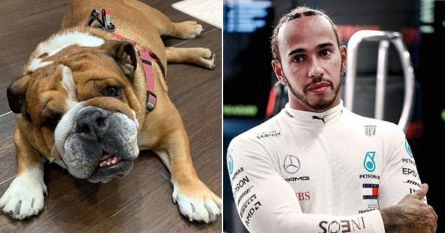 Lewis Hamilton pictured separately alongside image of his dog Roscoe