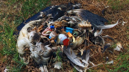 A Laysan Albatross (Diomedea immutabilis) carcass with plastic debris, mistakingly fed to chick by parents.