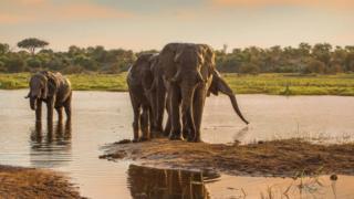 Male elephants along the Boteti River