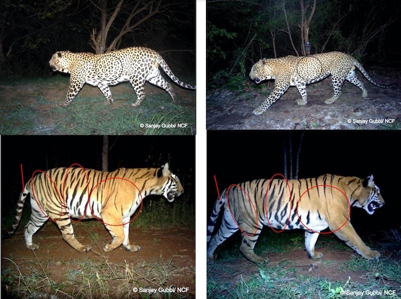 leopard and tiger sanjay gubbi 800 leopard and tiger