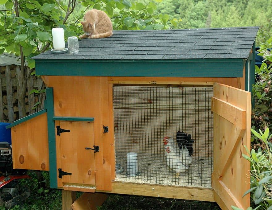 Dwarf chickens in the chicken coop 15-small