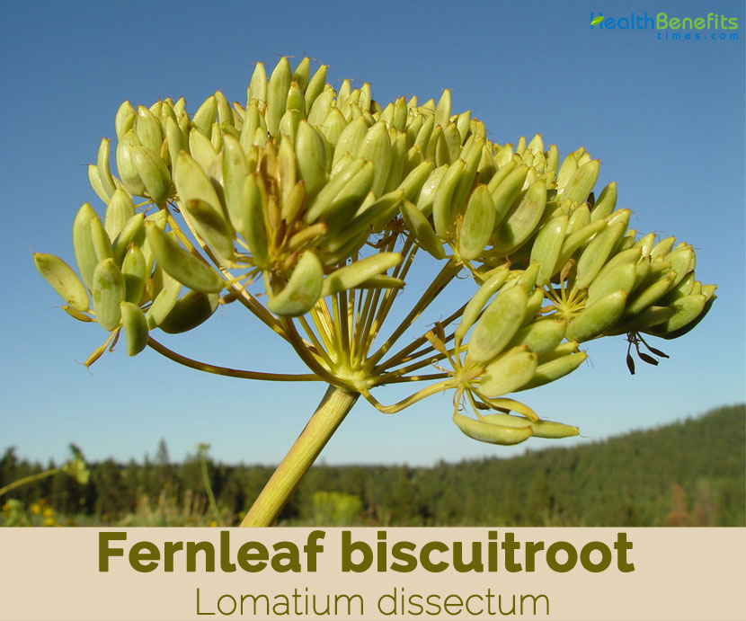 Fernleaf biscuitroot facts and health benefits