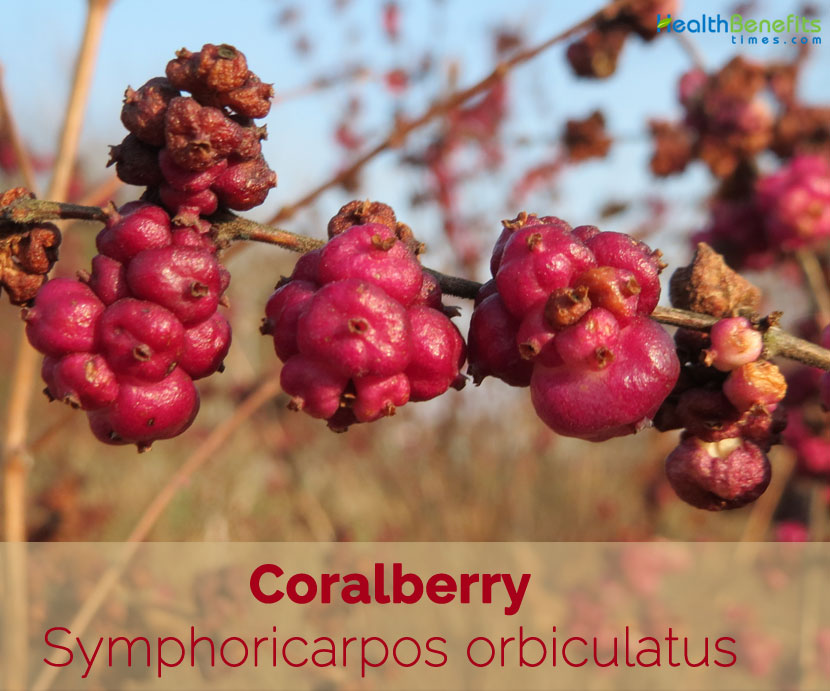 Coralberry facts and health benefits