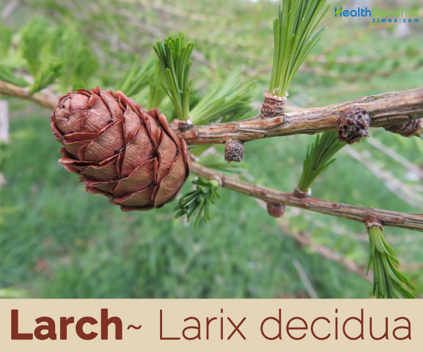 Larch facts and health benefits