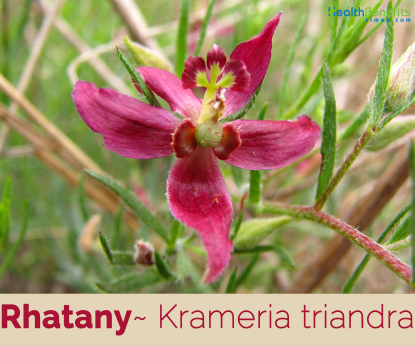 Rhatany facts and health benefits
