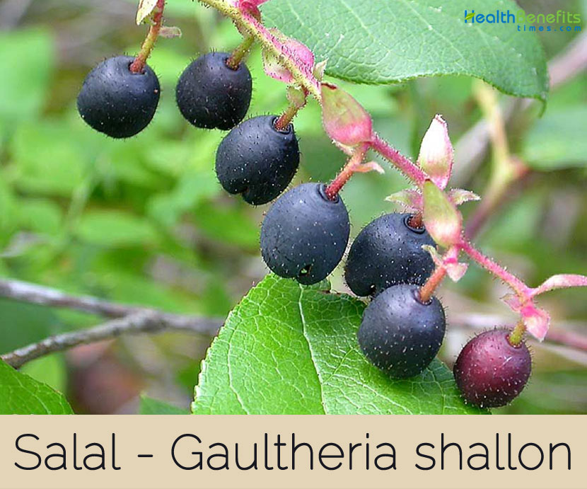 Salal facts and health benefits