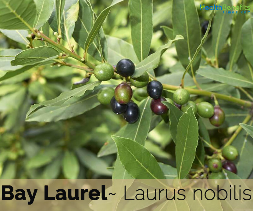 Bay Laurel facts and health benefits