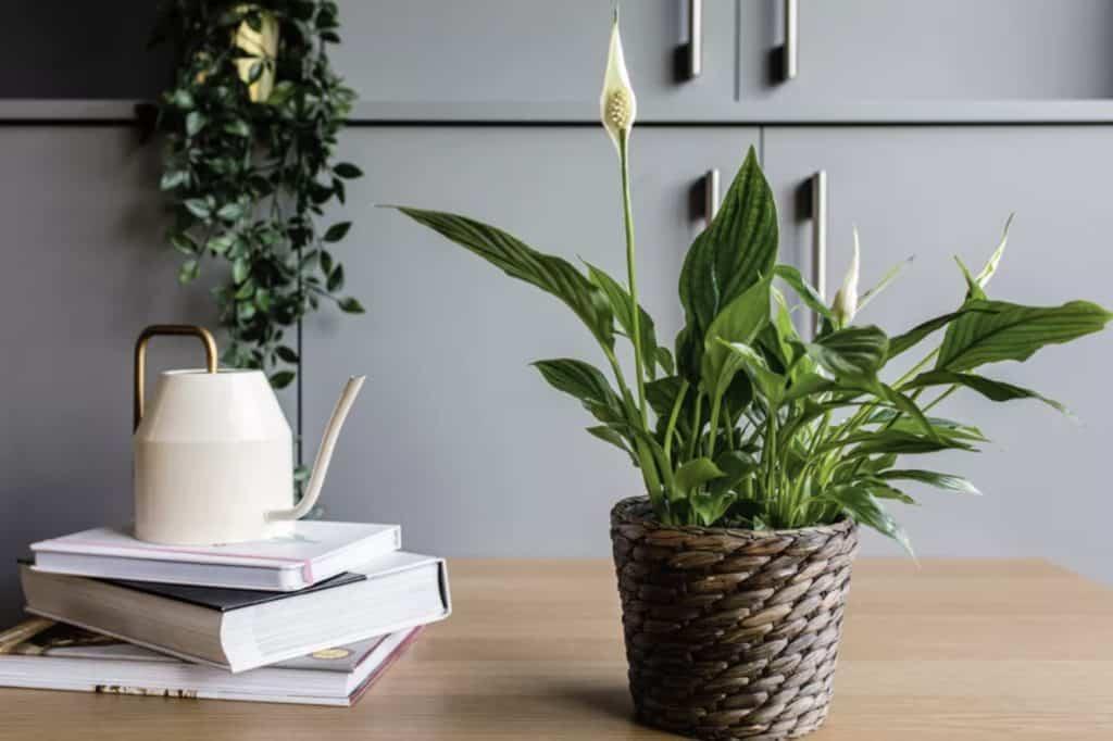 http://server.digimetriq.com/wp-content/uploads/2020/12/1608077174_238_Elegant-and-Trendy-Plants-for-Your-Living-Room.jpg