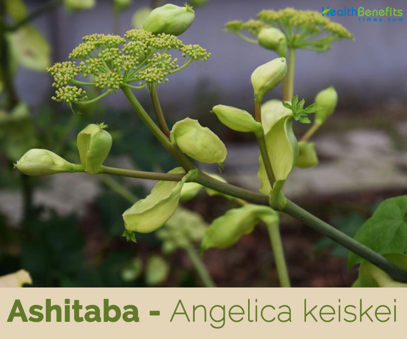 Ashitaba facts and health benefits