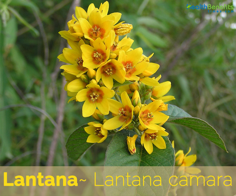 Yellow Loosestrife facts and health benefits