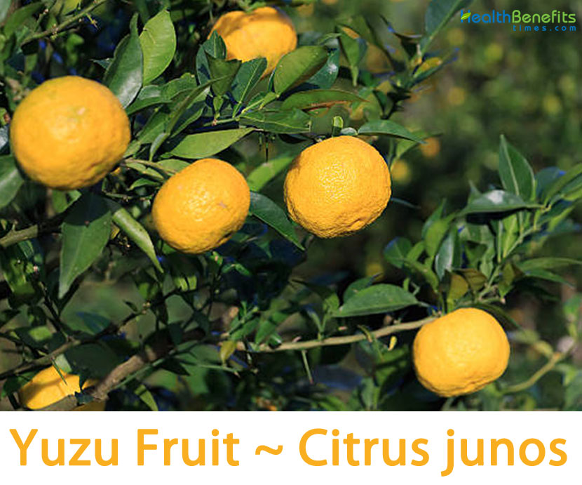 Yuzu Fruit facts and health benefits
