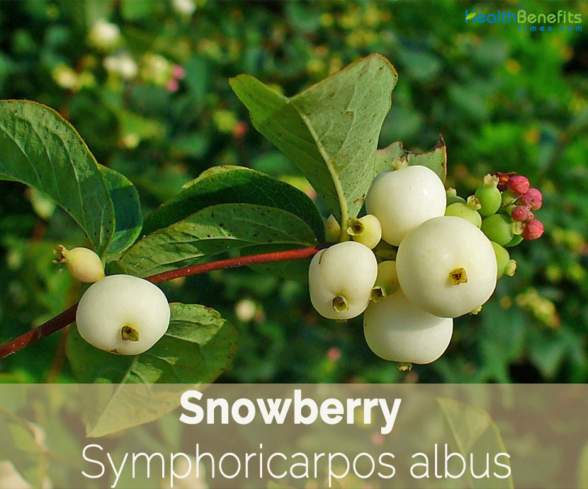 Snowberry facts and health benefits