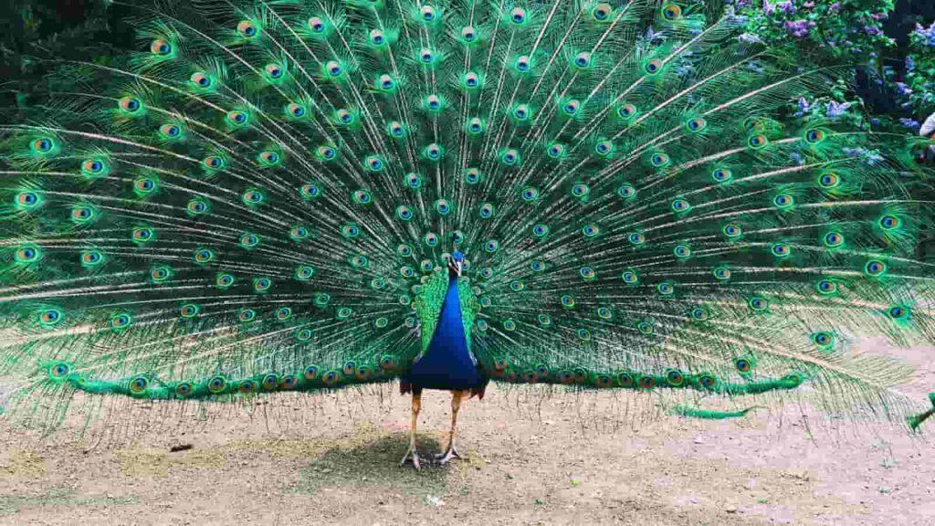 Peacock test