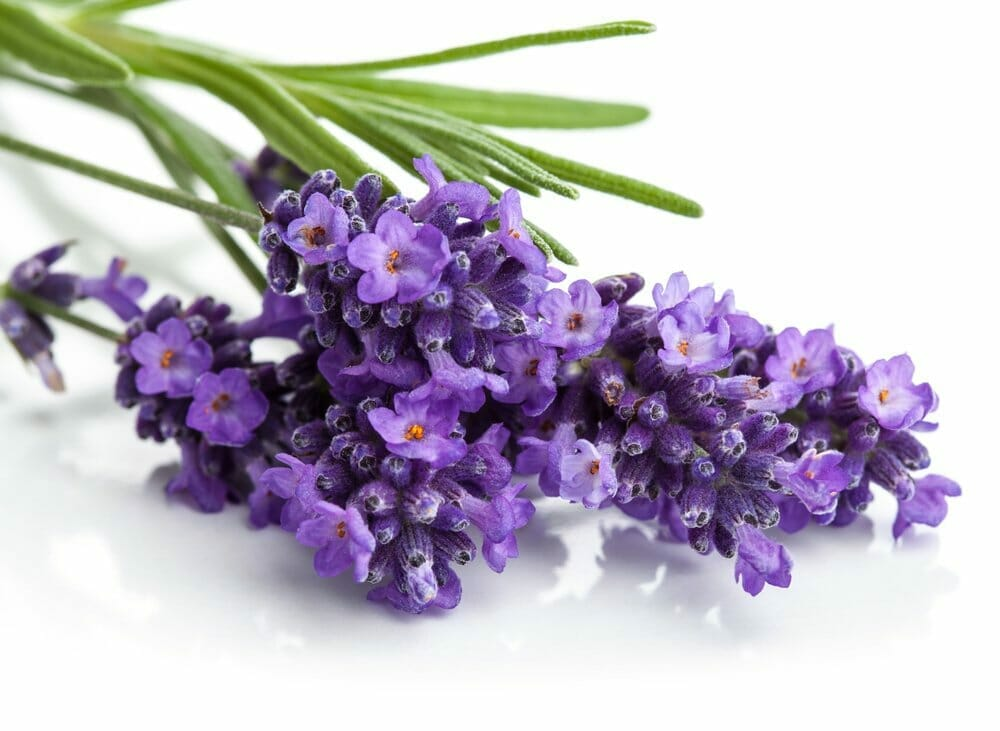 13 Amazing Benefits of Lavender